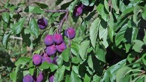 Takken van een pruimboom met rijpe vruchten stock footage