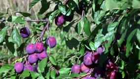 Takken van een pruimboom met rijpe vruchten stock videobeelden