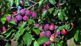 Takken van een pruimboom met rijpe vruchten stock video