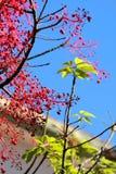 Takken van een rode boom met een diepe blauwe zonnige hemel Royalty-vrije Stock Fotografie
