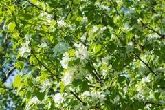 Takken van een tot bloei komende appelbomen stock afbeeldingen