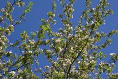 Takken van een tot bloei komende Apple-boom Stock Foto