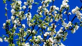 Takken van een tot bloei komende fruitboom met kleine witte bloemen met een blauwe hemelachtergrond stock afbeelding