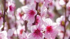 Takken van een tot bloei komende perzikboom stock video