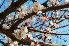 Takken van een wilde abrikozenboom in de kleuren van zachte roze ag Stock Foto's