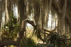 Takken van eiken die boom in mos, St Wolk, Florida worden gedrapeerd stock fotografie