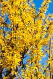 Takken van forsythia door gele bloesems over blauwe hemel wordt behandeld die stock afbeeldingen
