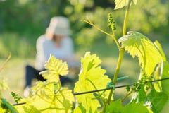 Takken van groene bladeren van wijnstok, wijngaard in de lente royalty-vrije stock afbeeldingen