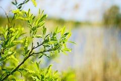 Takken van jonge groene wilg in de lente met bloeiende bladeren en knoppen Achtergrond royalty-vrije stock afbeelding