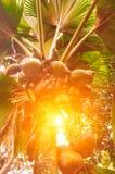 Takken van kokospalmen onder blauwe hemel en zon Koninklijke Botanica Stock Afbeelding