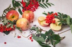 Takken van lijsterbes met rode appelen op witte houten backgroundbranches van lijsterbes met rode appelen op een wit Royalty-vrije Stock Fotografie