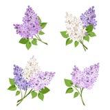 Takken van lilac bloemen Vector illustratie stock illustratie