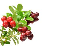 Takken van lingonberry met rijpe sappige rode bessen Stock Foto