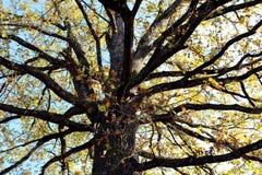 Takken van machtige oude boom in de herfst royalty-vrije stock afbeelding