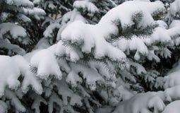 Takken van naaldbomen met sneeuw worden behandeld die stock foto's