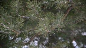 Takken van pineinsneeuw bij park tijdens een sneeuwstorm stock videobeelden