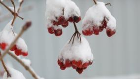 Takken van rode bessen van viburnum onder de sneeuw stock footage