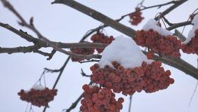 Takken van rode heldere die lijsterbes met sneeuw wordt behandeld stock videobeelden