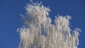 Takken van snow-covered berk tegen de blauwe hemel De dalingen van de sneeuw stock videobeelden