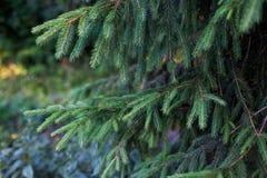 Takken van spar in blauwgroene tonen Stock Foto