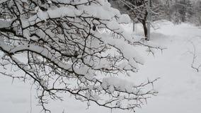 Takken van struik met sneeuw worden behandeld die stock video