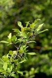 Takken van struiken met groene bladeren in de lente royalty-vrije stock afbeeldingen