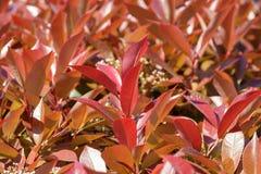 Takken van struiken met jonge rood-oranje bladeren stock foto's