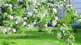 Takken van tot bloei komende appelboom in stad stock video