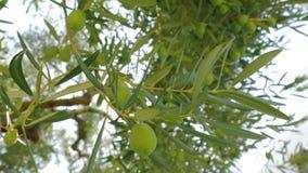 Takken van vruchtbare olijfboom en zon die door de bladeren glanzen stock video