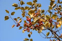 Takken van wilde appel-boom royalty-vrije stock fotografie