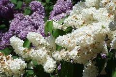 Takken van witte en violette lilac bloemen Stock Fotografie