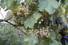 Takken van Witte wijndruiven die op Georgische gebieden groeien Sluit omhoog mening van verse Witte wijndruif in Georgië Stock Fotografie
