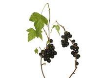 Takken van zwarte bes met bessen en bladeren op wh worden geïsoleerd die Royalty-vrije Stock Afbeelding