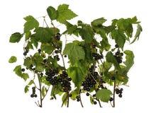 Takken van zwarte bes met bessen en bladeren op wh worden geïsoleerd die Royalty-vrije Stock Foto
