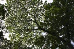 Takken vanuit lagere invalshoek van een grote oude boom Royalty-vrije Stock Fotografie