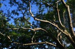 Takken vanuit lagere invalshoek van een grote oude boom Royalty-vrije Stock Afbeelding