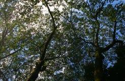 Takken vanuit lagere invalshoek van een grote oude boom Royalty-vrije Stock Afbeeldingen