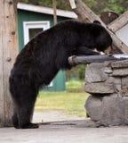 Taku Lodge Bear. Eats fish Royalty Free Stock Photography