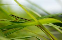 Takydromas sexlineatus eller gräsödlalöpare royaltyfri bild