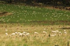 Tal der Schafe Stockbild