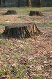 Tala de árboles Imagen de archivo libre de regalías