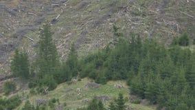 Tala de árboles en cuesta de montaña almacen de video