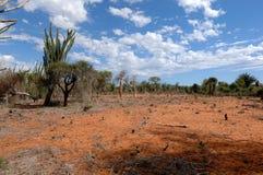 Tala de árboles encendido al sur de Madagascar Imágenes de archivo libres de regalías