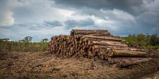 Tala de árboles tropical de la selva tropical Imágenes de archivo libres de regalías
