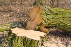 Tala de árboles Imagen de archivo