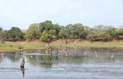 Talab di Malik nella zona 4 del parco nazionale di Ranthambore Fotografia Stock Libera da Diritti
