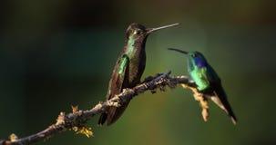 Talamanca beundransvärd kolibri - eugenesspectabilis är den stora kolibrin stock video