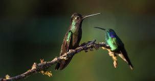 Talamanca bewonderenswaardige kolibrie - eugenes is spectabilis grote kolibrie stock video
