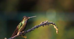 Talamanca bewonderenswaardige kolibrie - eugenes is spectabilis grote kolibrie stock footage