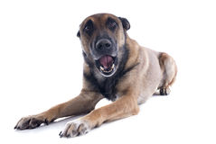 Talande hund arkivfoton